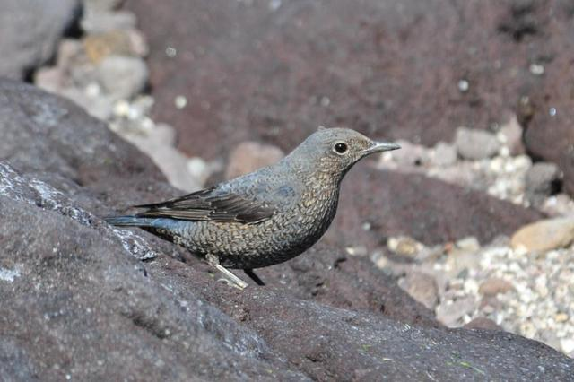 イソヒヨドリ(雌)