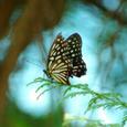 アカボシゴマダラ(赤星胡麻斑)
