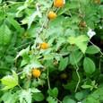 モミジイチゴ (紅葉苺)