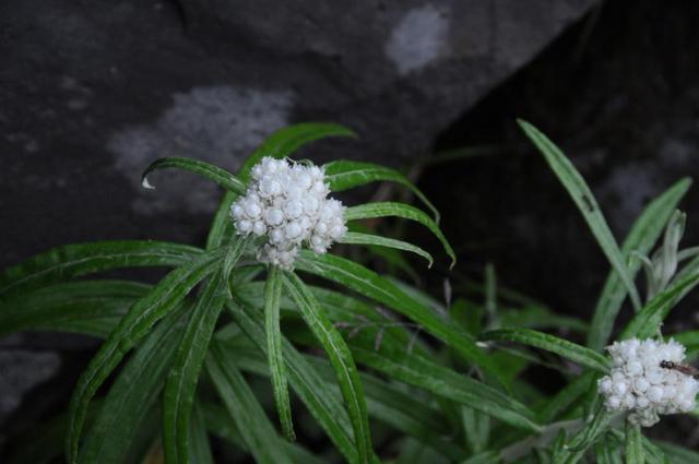 ヤマハハコ (山母子)