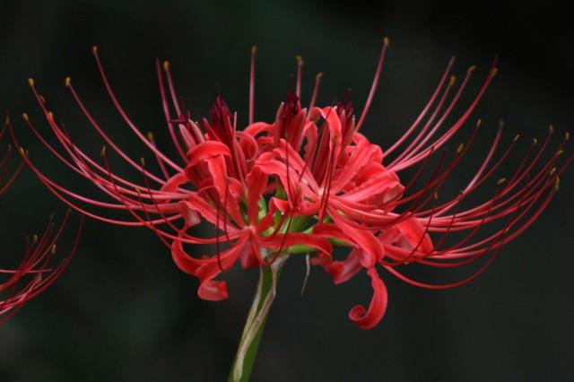 ヒガンバナ (彼岸花)