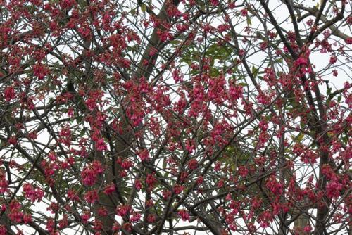 カンヒザクラ (寒緋桜)