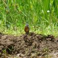 カワセミ (幼鳥)