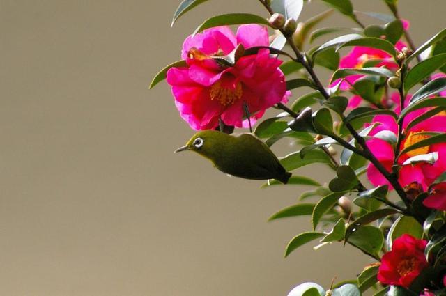 山茶花とメジロ