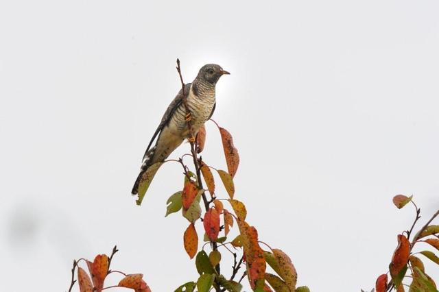 ツツドリ (筒鳥)